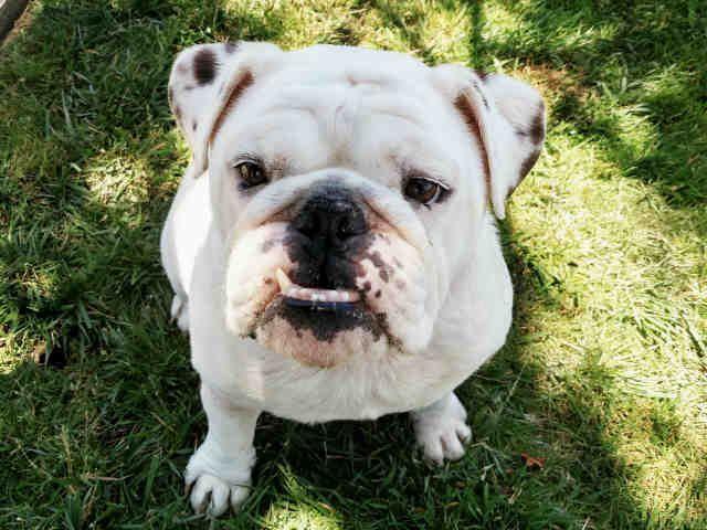 Www Petharbor Com Pet Sncl A536721 Pets English Bulldog Animals