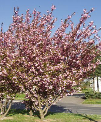 Cerisier du japon prunus serrulata 39 kanzan 39 arbres et - Arbustes d ornement exterieur ...
