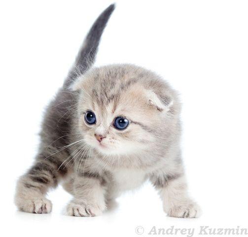 Super Katzenfoto Viele Susse Katzenbilder Und Katzenfotos Kostenlos Katzen Fotos Katzen Schottische Faltohrkatzchen