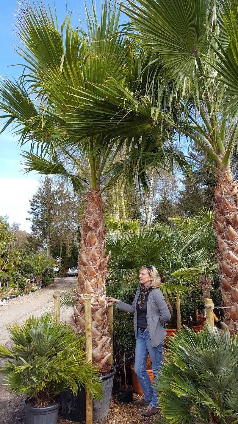 washingtonia robusta skyduster mexican fan palm. Black Bedroom Furniture Sets. Home Design Ideas
