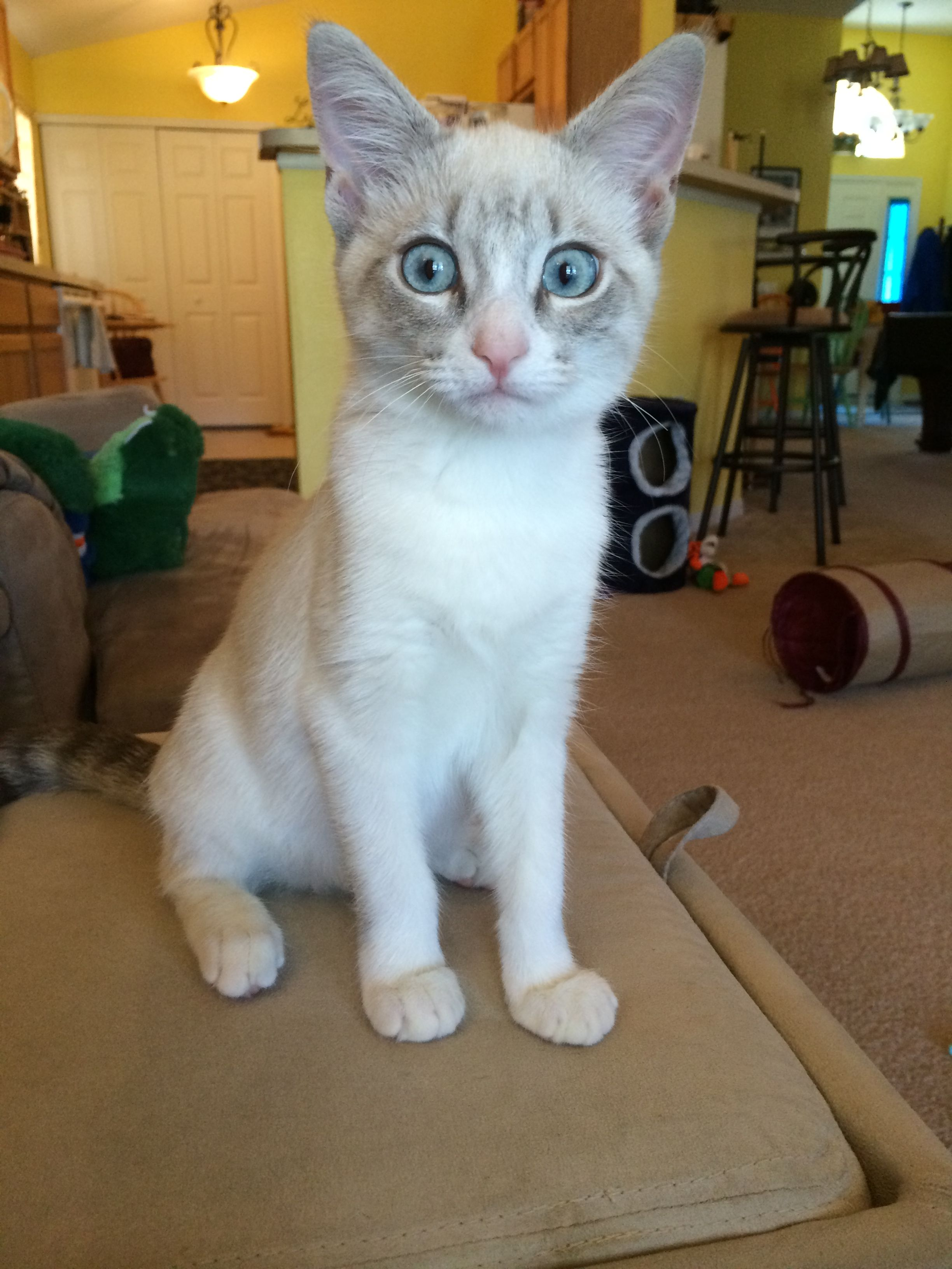 Lynx Point Siamese Cat Isabel Siamese Cats Crazy Cats Cat Breeds