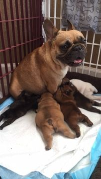 Litter Of 5 French Bulldog Puppies For Sale In Manteca Ca Adn