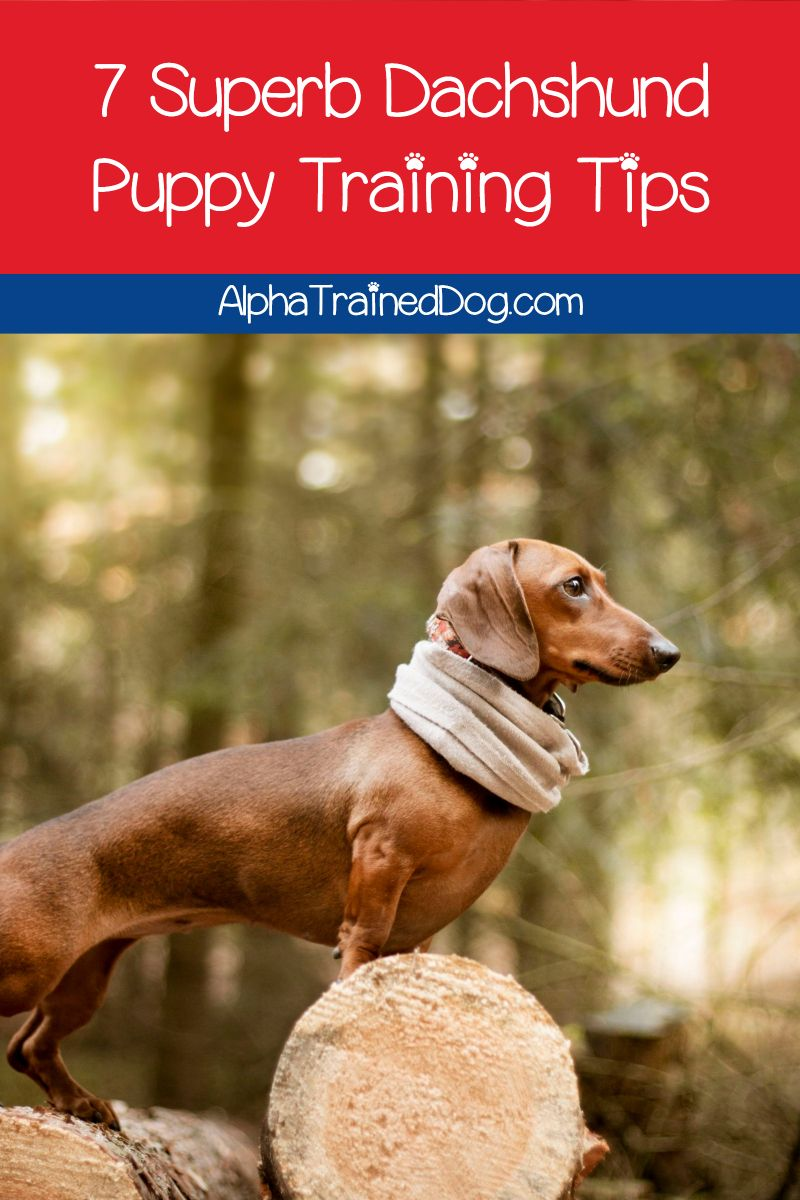 Need Help With Your Dachshund Puppy Training You Re Not Alone
