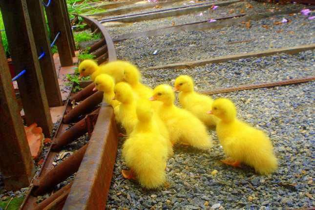 Pin By Serindip On Color Me Yellow Animals Beautiful Ducklings Pet Birds