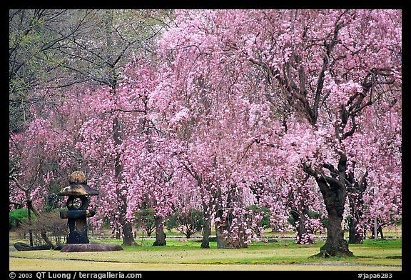 Asian Cherry Tree