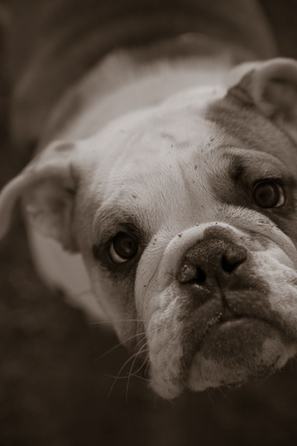 A Day At Magnuson Park Bully Dog Dogs Dog Tags