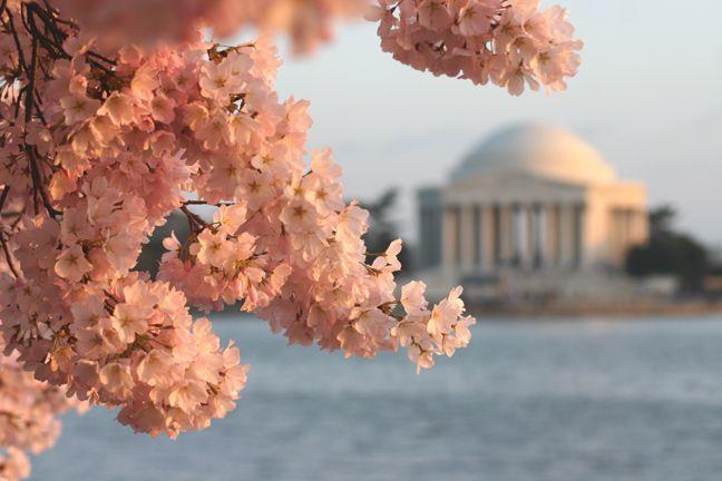 Destination Dc Cherry Blossom Festival Cherry Blossom Dc Flower Festival