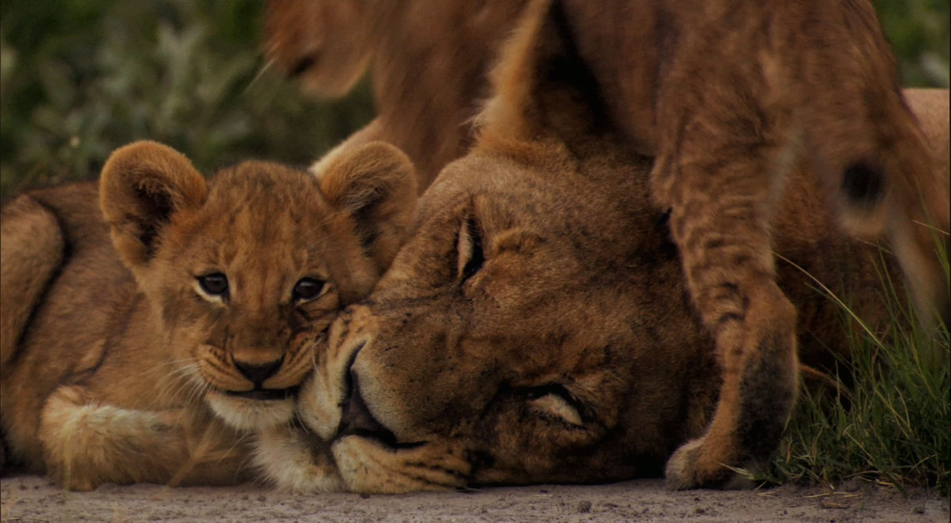 mother lion with cubs tattoo google search animal tattoos