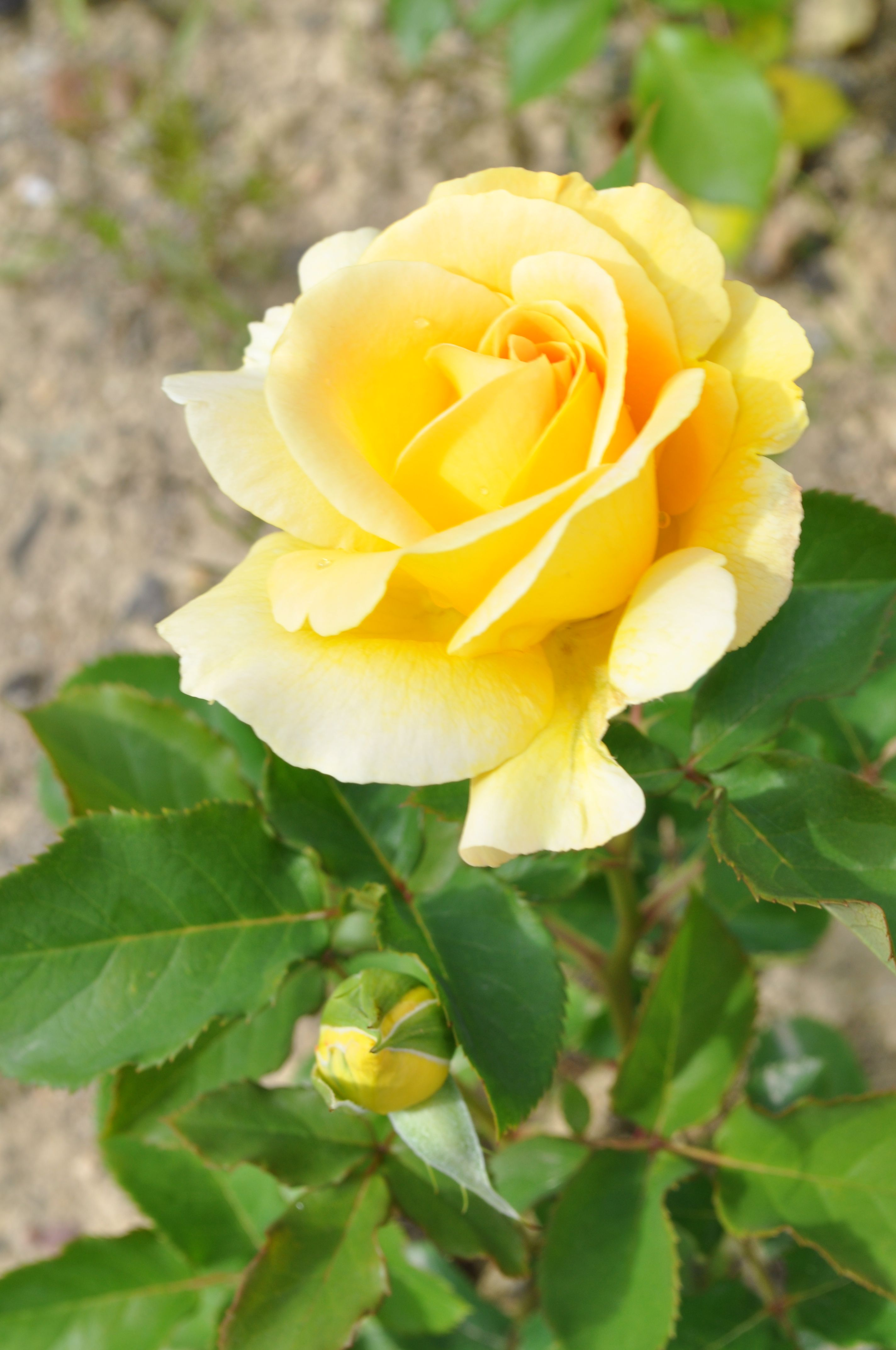 Pin by shailesh dixit on s k dixits photographs flowers morning flowers blooming flowers rose buds yellow roses flower photography roses garden beautiful flowers floral wallpapers granddaughters izmirmasajfo