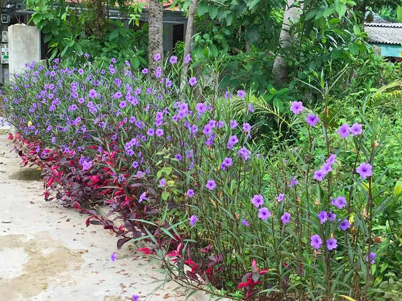 How To Grow And Care For Mexican Petunias Ruellia Simplex In 2020 Shade Plants Hardy Perennials Flowering Shade Plants
