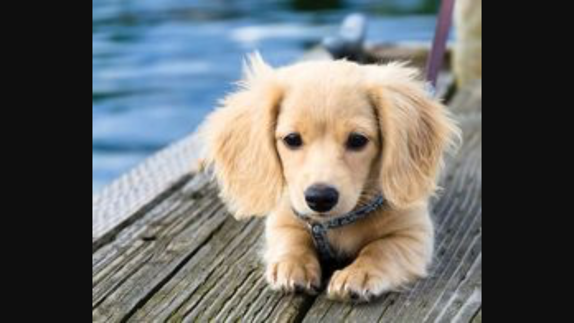 Pin by Hunting TShirts on Dachshund puppies ideas Cute