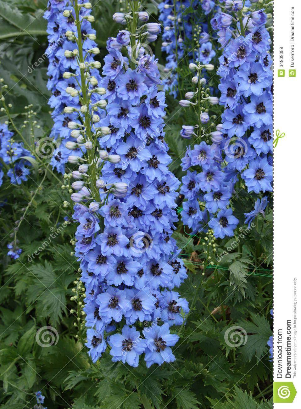 Tall garden flower stock flower images pinterest flower tall garden flower mightylinksfo
