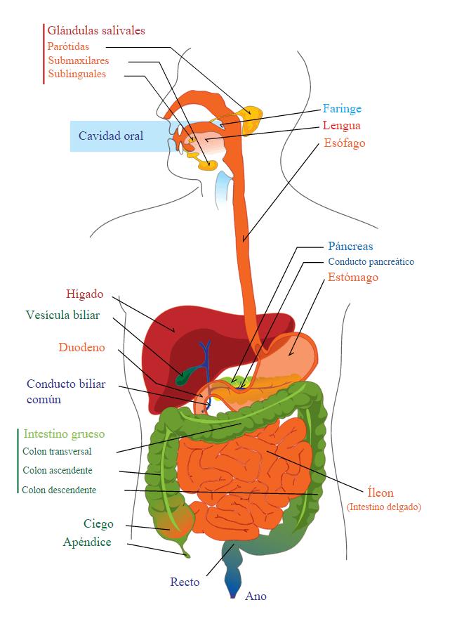 Aparato Digestivo: anatomía y fisiología | AUXILIAR ENFERMERIA ...