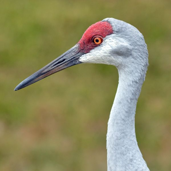 Memories Of Sandhill Cranes >> Sandhill Crane Brings Up Several Memories Cranes Pinterest