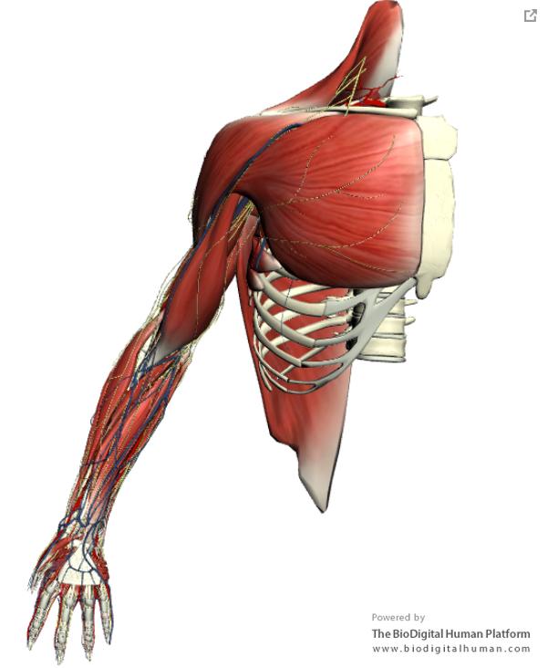 Arm Regional Anatomy By The Biodigital Human Anatomy Animation 3d