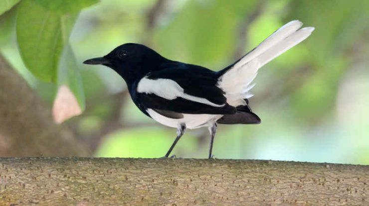 Download Suara Burung Kacer Juara Untuk Masteran Burung Jenis Juara