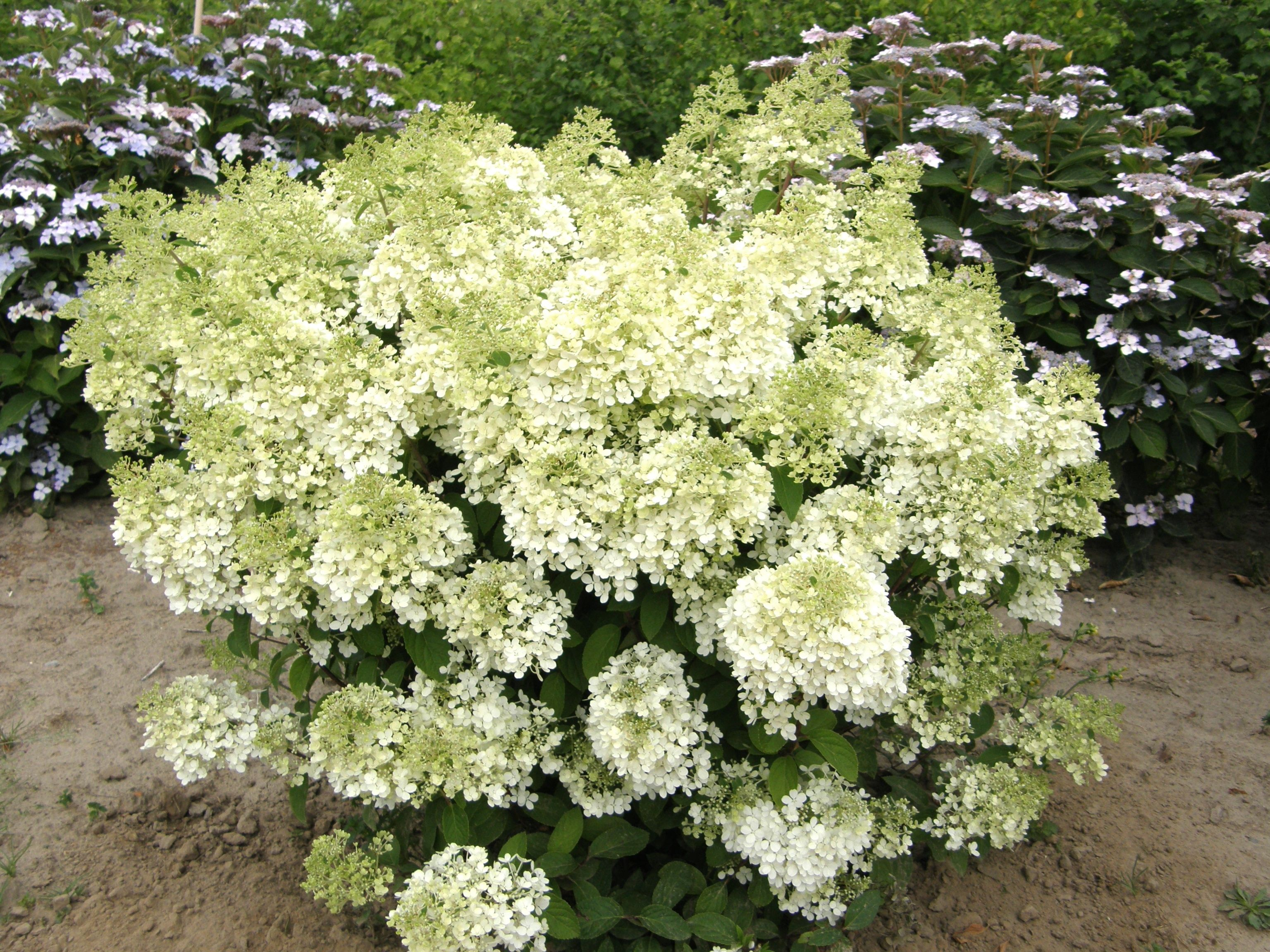 Bobo Hydrangea (1m high & wide)A new award winning Proven Winner hydrangea!  Compact shrub, flowers are white turning pinkish in fall. Full sun to part shade. Canadale Nurseries Ltd.