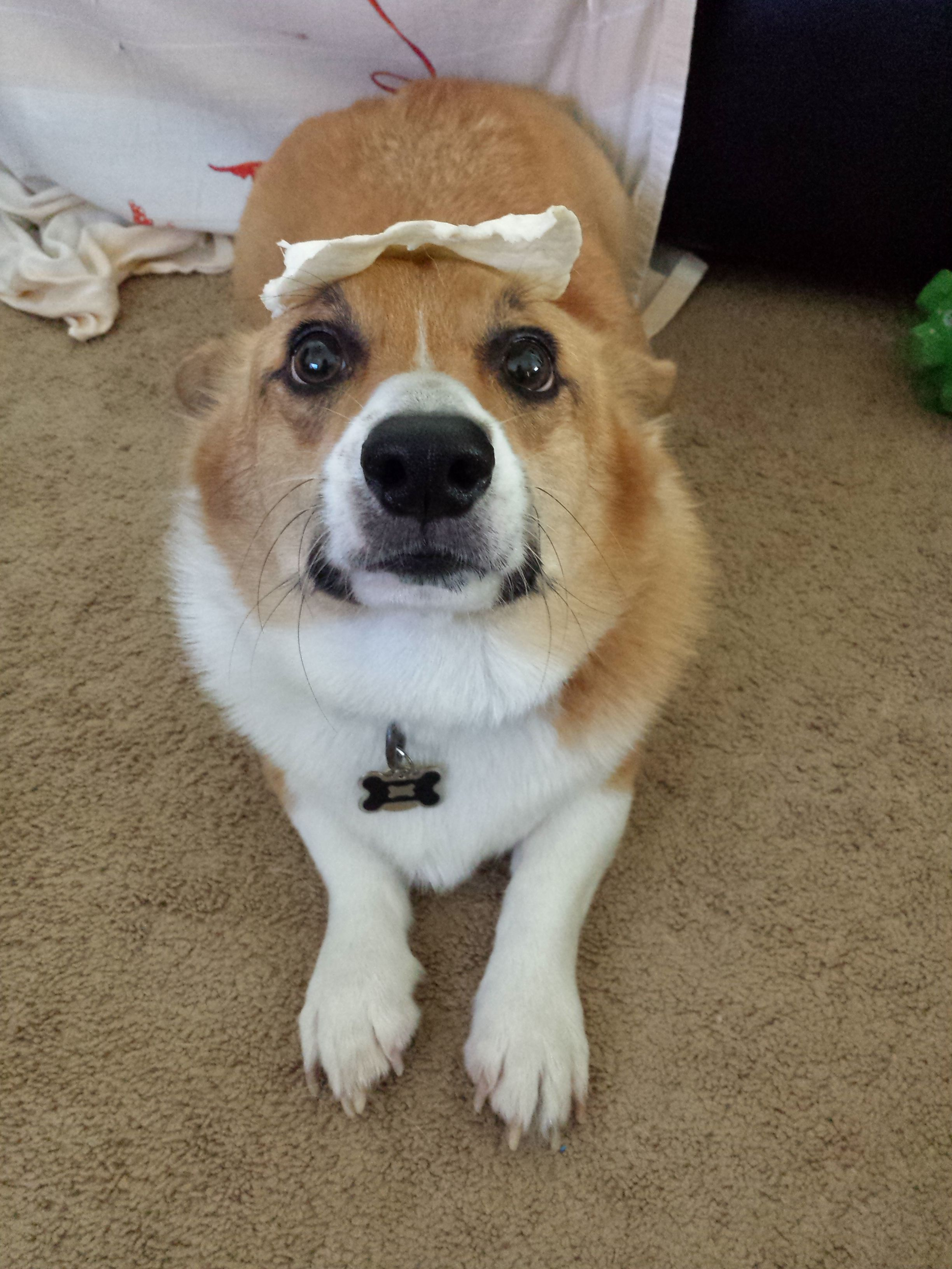 Ever Wondered What A Corgi Looks Like Without The Big Ears