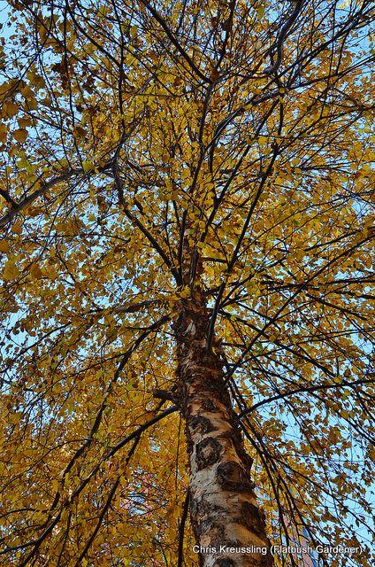 Betula Genus are Phosphorous Accumulators. River Birch shown here. Others to try are: Betula alleghaniensis, Betula borealis, Betula lenta, Betula minor, Betula nana, Betula neoalaskana, Betula nigra, Betula occidentalis, Betula papyrifera, Betula populifolia, Betula pumila