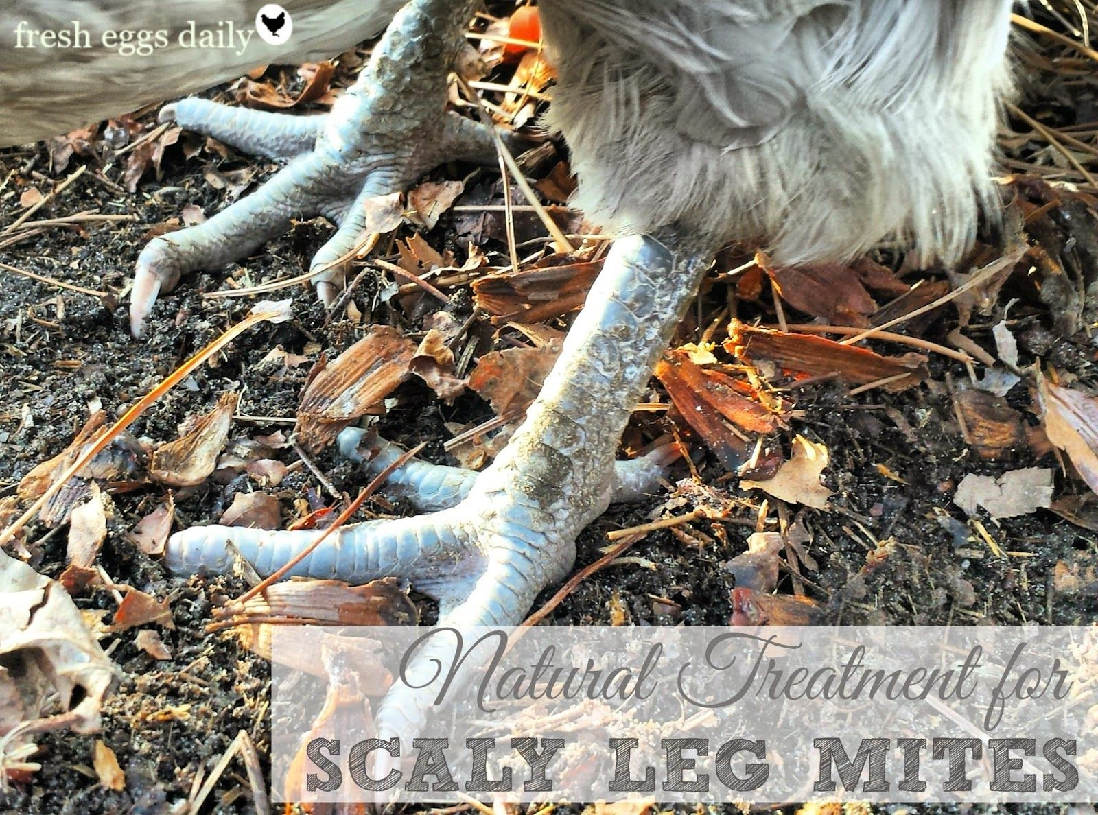 natural treatment for scaly leg mites on chickens everything