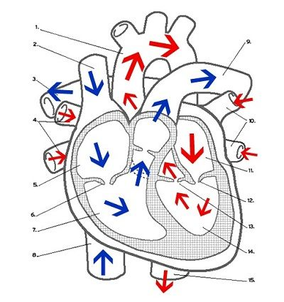 circulation of blood through the heart (diagram) | school, Muscles