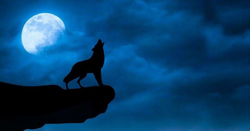 إذا قمت يوما بالتخييم في البرية وبينما تستمتع بالسكون النقي سمعت عواء الذئاب يشق ذاك السكون في ظلمة ليل باهتة بسبب Wolf Images Wolf Wallpaper Wallpaper Keren