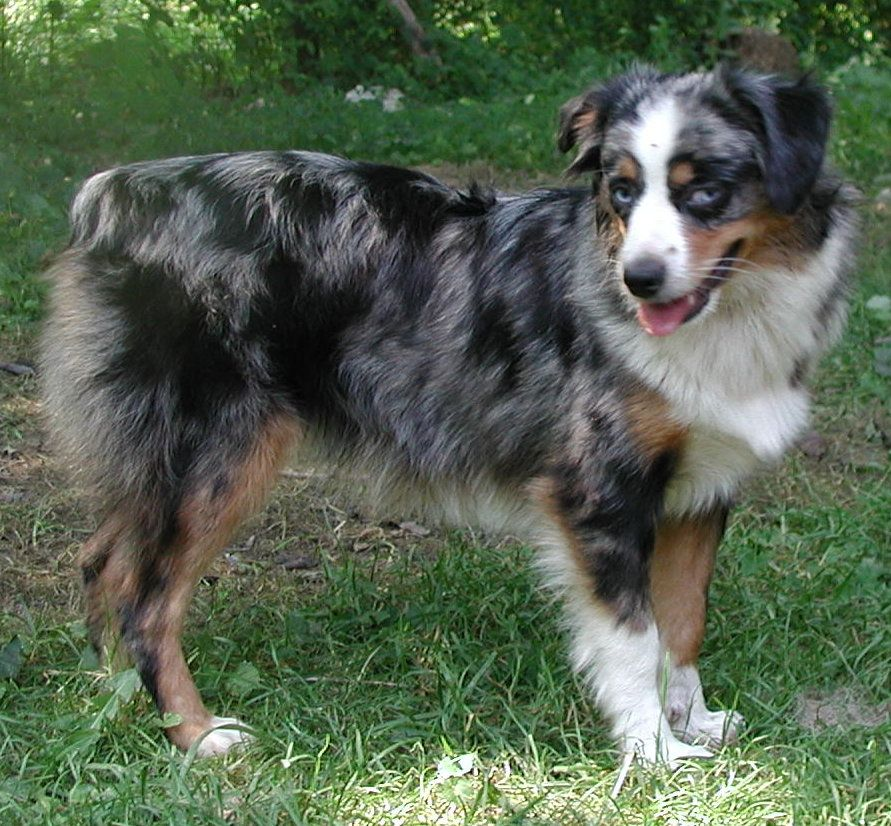 mini blue merle australian shepherd scouts twin maybe