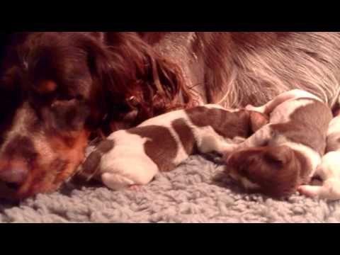 Flo met pups van 3 dagen oud (Epagneul Picard) - http://www.baubaunews.com/bau-blog/flo-met-pups-van-3-dagen-oud-epagneul-picard/ http://img.youtube.com/vi/U55rDDvq9cg/0.jpg