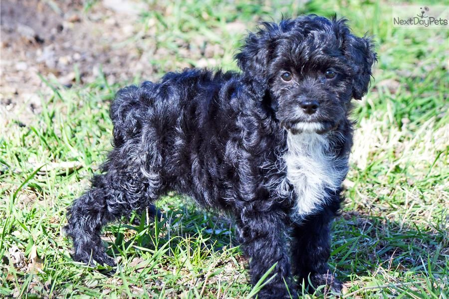 Pin by Karen Ortiz on Cavapoos Cavapoo puppies, Cavapoo