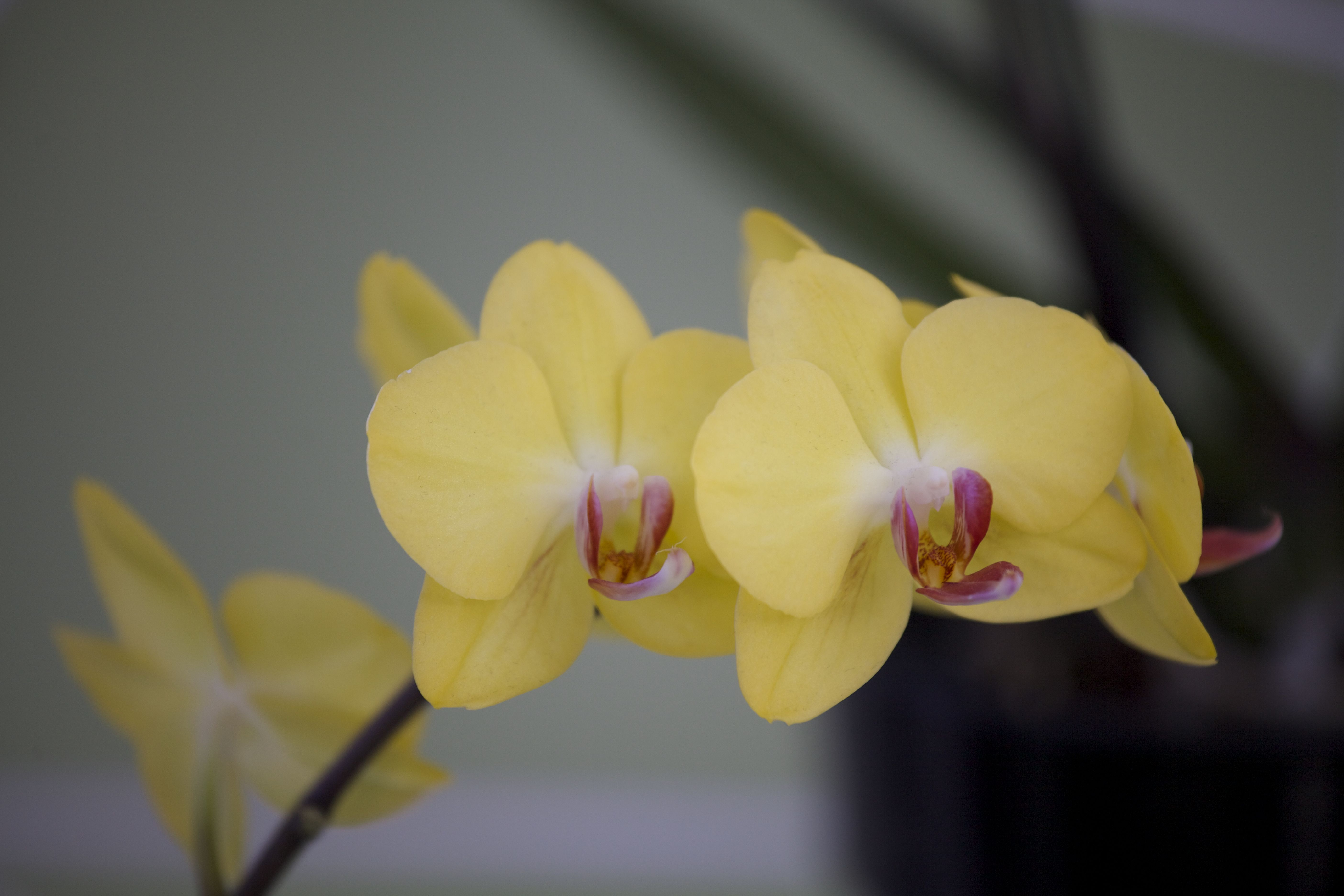 Orchid by richard ainsworth yellow pinterest orchid