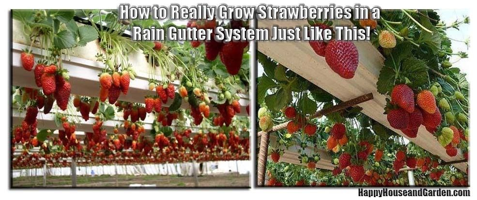 How To Really Grow Strawberries In A Rain Gutter System Just Like This Happy House And Garden Social Site Growing Strawberries Rain Gutters Gutter Garden