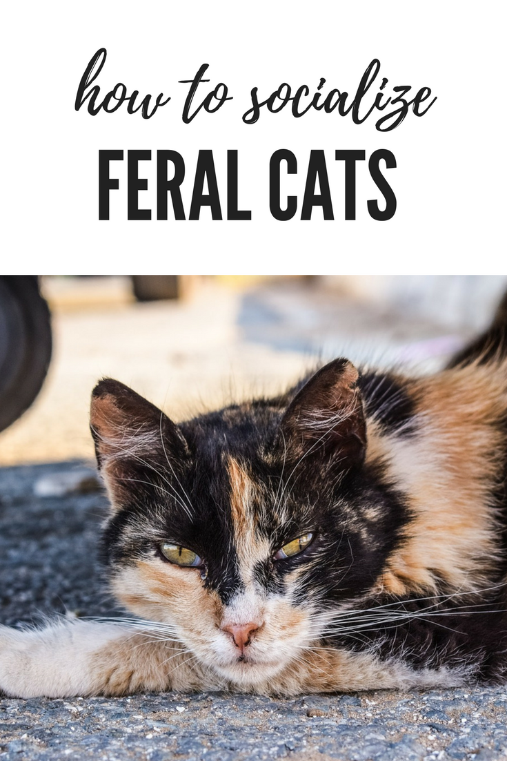 Ever thought of taking a feral cat as a pet? It can be
