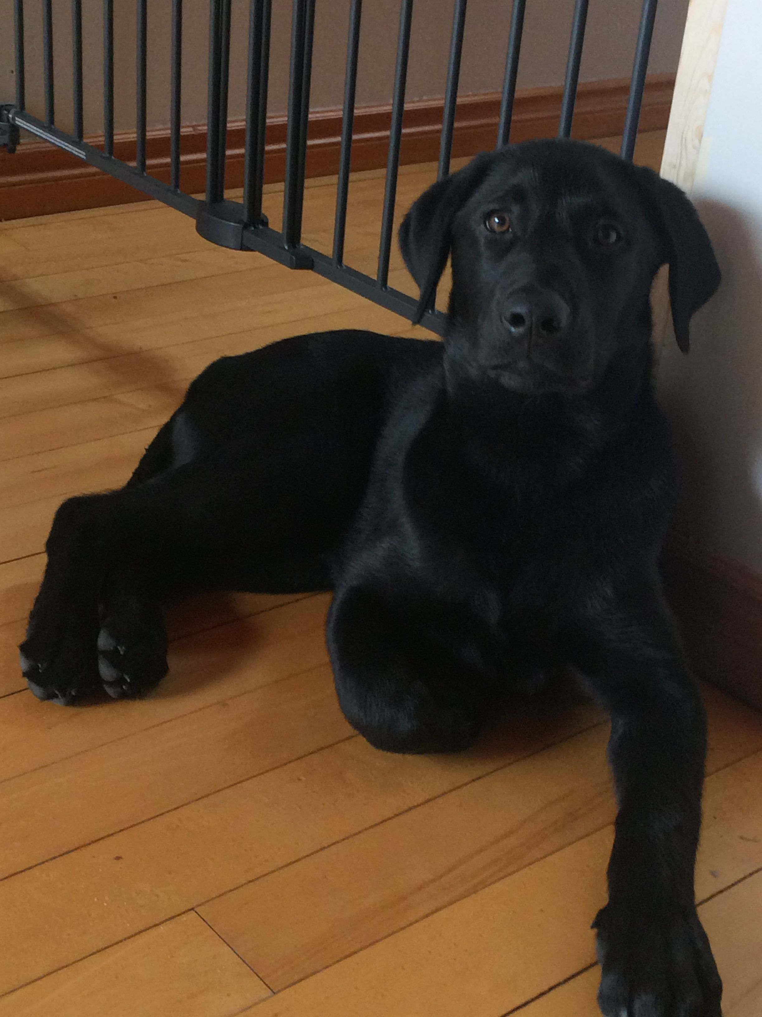 16 Week Old Black Lab Labradorretriever Labrador Retriever Lab
