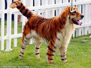 I Call It Dog Cosplay This Pooch Is Dyed To Look Like A Tiger Best Dog Costumes Panda Dog Halloween Animals
