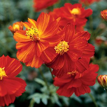 Cosmos Cosmic Red