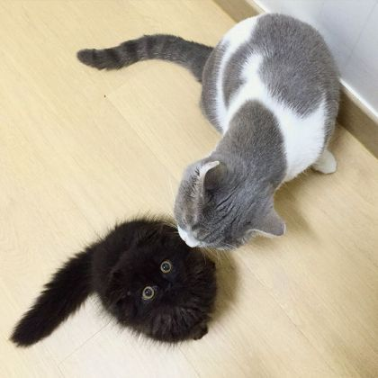 big-cute-eyes-cat-black-scottish-fold-gimo-1room1cat-331