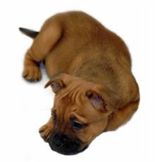 Barred From Love Rottweiler Rottweiler Puppies Pet Store Puppies
