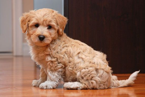 Coton Poo Puppies For Sale Puppies Puppies For Sale Golden