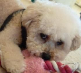 Thumper Is An Adoptable Poodle Dog In Regina Sk Thumper Is One