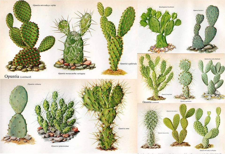 nombres de algunas variedades suculentas cactus