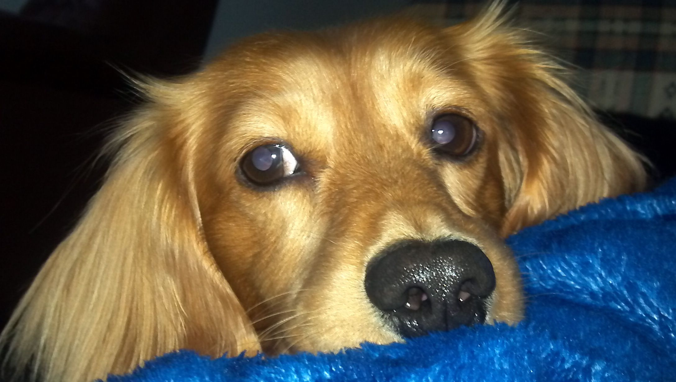 Look at those eyes long haired dachshund squishy huggable