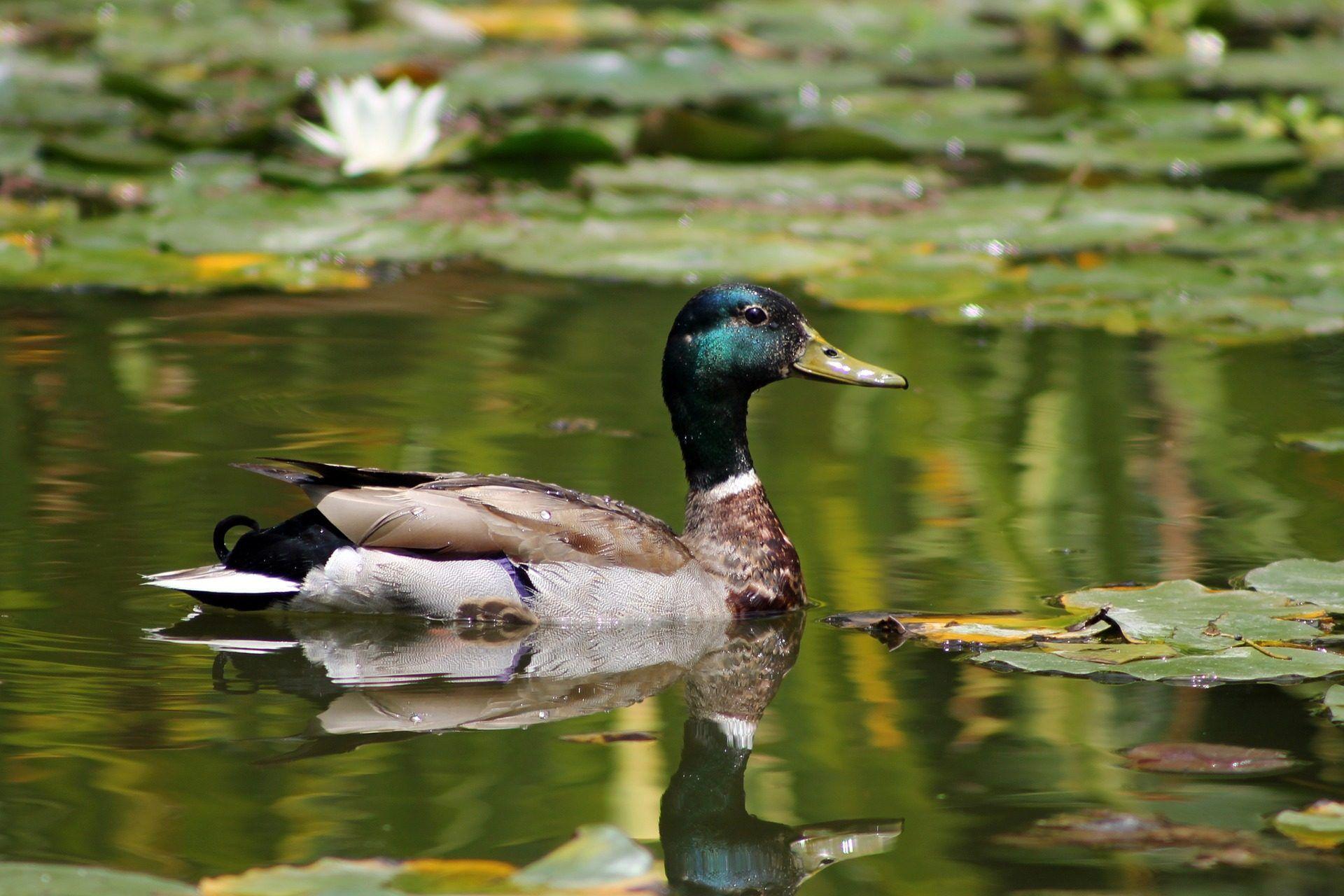 Pato ave estanque lago hojas agua nen fares for Estanques para patos prefabricados
