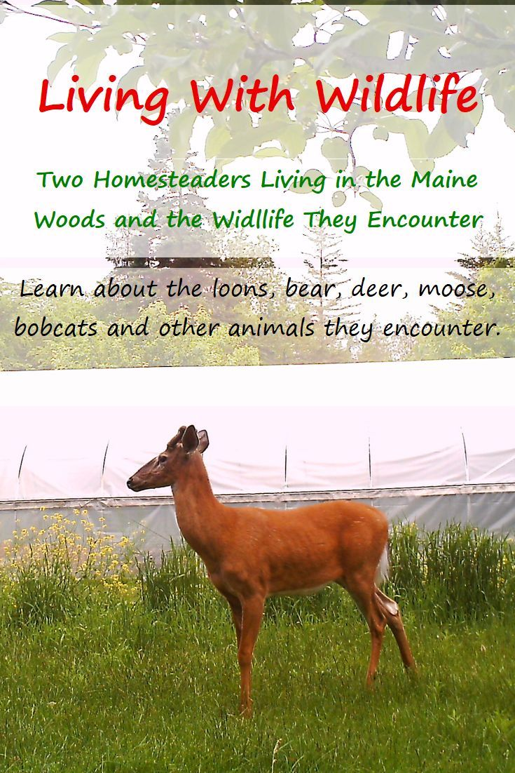 Living With Wildlife When You Live My Homestead
