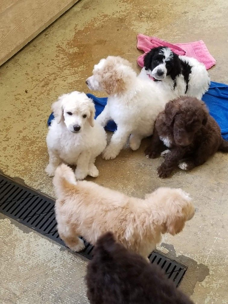 Standard Poodle Puppies Poodle Puppy Standard Fluffy Puppies