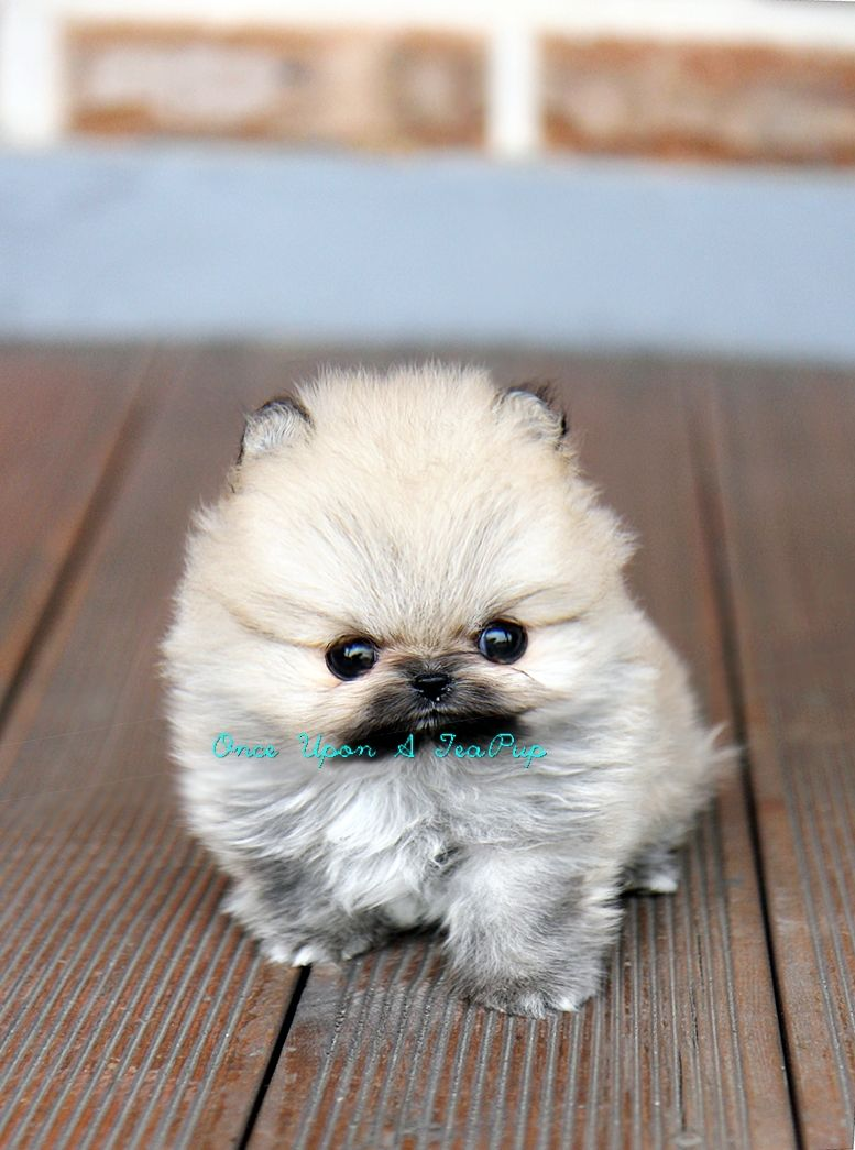 Onceuponateapup Com Now Handles All Teacup Puppy Sales In The Us