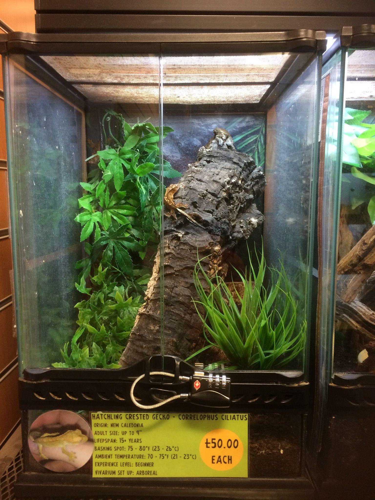 Getting a created gecko a n i m a l s pinterest geckos
