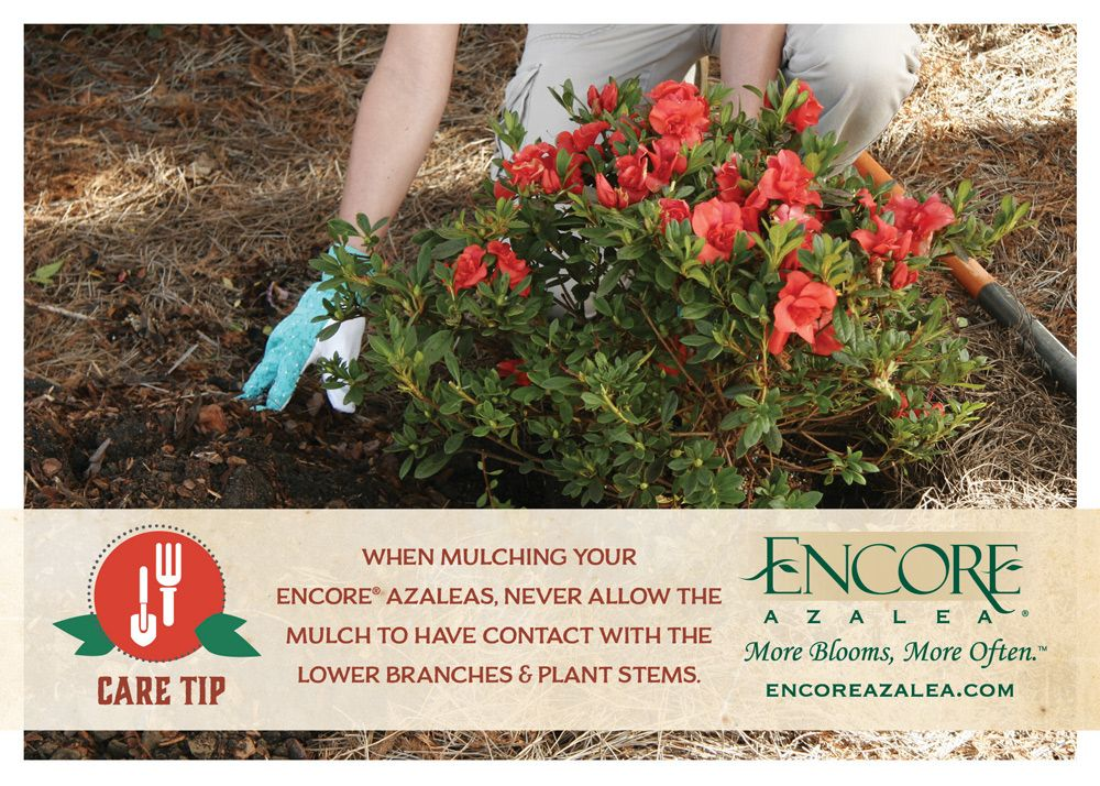 Winter Prep How to Properly Mulch Your Azaleas Pruning