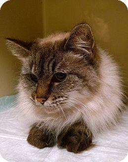 Seattle C O Kingston 98346 Washington State Wa Siamese Meet Smores A Cat For Adoption Cat Adoption Pets Pet Adoption