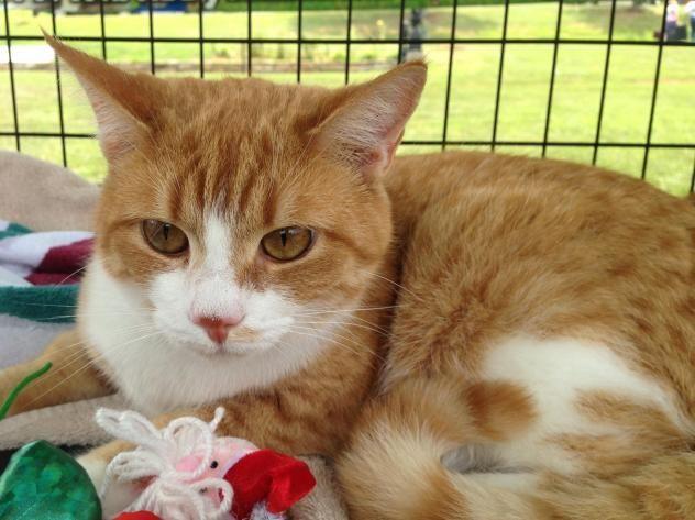 Meet Pookie A Petfinder Adoptable Tabby Orange Cat Shelton Ct Pookie A Rare Orange Tabby And White Short Hair Fem Cat Adoption Kitten Adoption Adoption