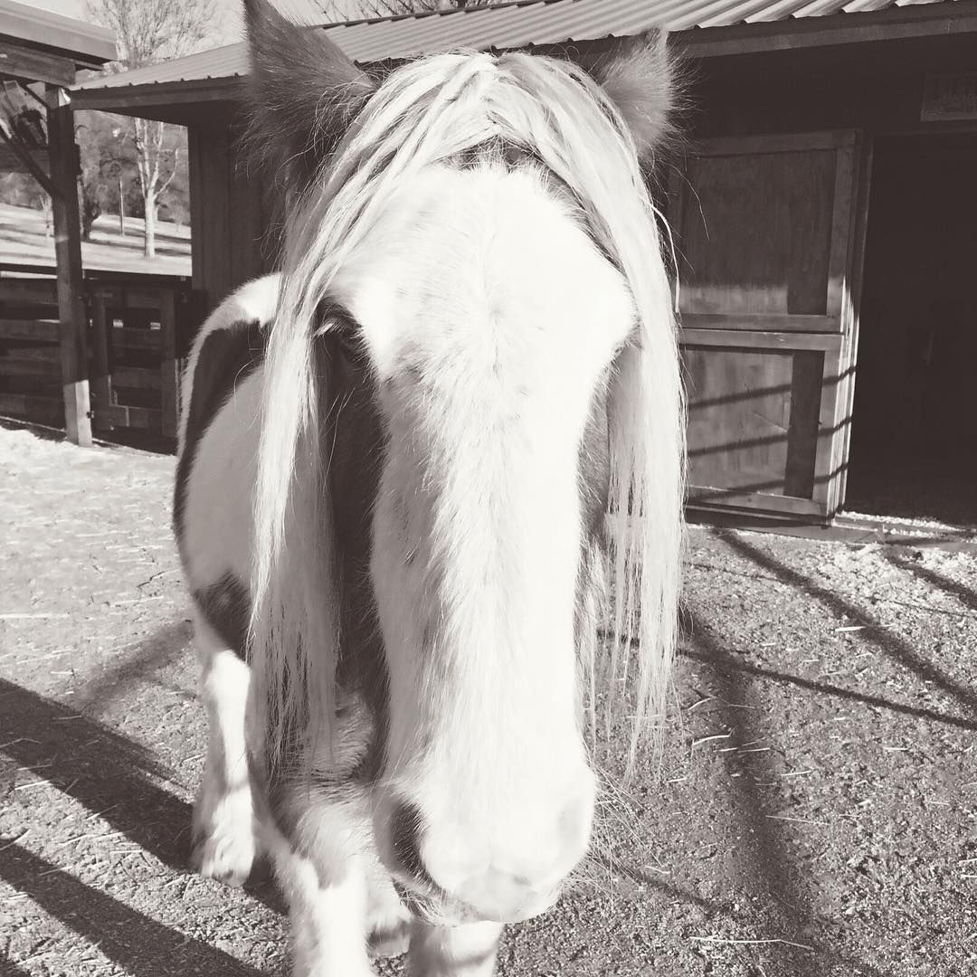 Jennifer Aniston's long lost sister... My little Liberty Belle...I love her so...  #horse #horses #horselover #horselove #gypsyvanner #gypsyvanners #cowgirlatheart #farmlifebestlife #farmlife #cowgirl #countrygirl #countrystyle  http://www.islandcowgirl.com